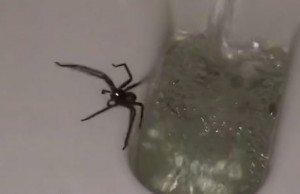 Huntsman Spider in toilet