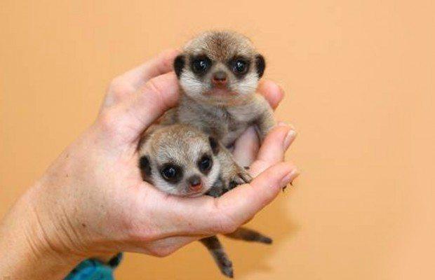 feature-meerkats